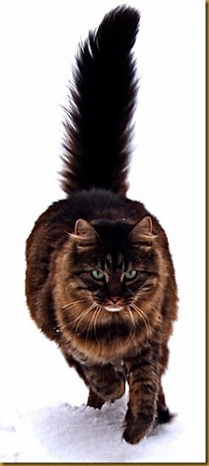 Maine_Coon_cat_by_Tomitheos